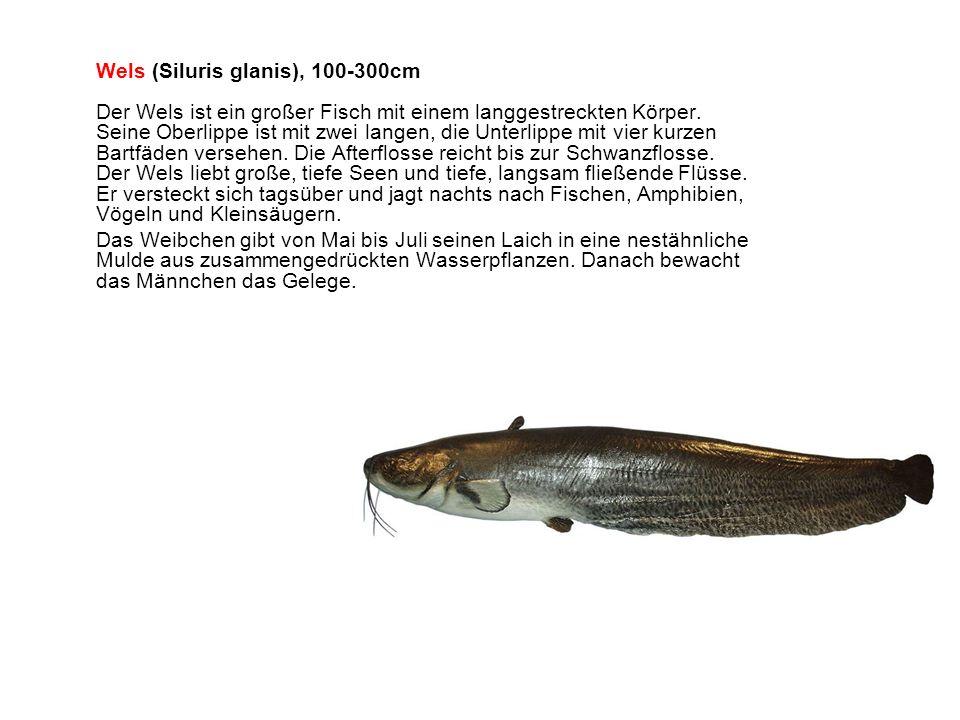 Wels (Siluris glanis), 100-300cm Der Wels ist ein großer Fisch mit einem langgestreckten Körper. Seine Oberlippe ist mit zwei langen, die Unterlippe mit vier kurzen Bartfäden versehen. Die Afterflosse reicht bis zur Schwanzflosse. Der Wels liebt große, tiefe Seen und tiefe, langsam fließende Flüsse. Er versteckt sich tagsüber und jagt nachts nach Fischen, Amphibien, Vögeln und Kleinsäugern.