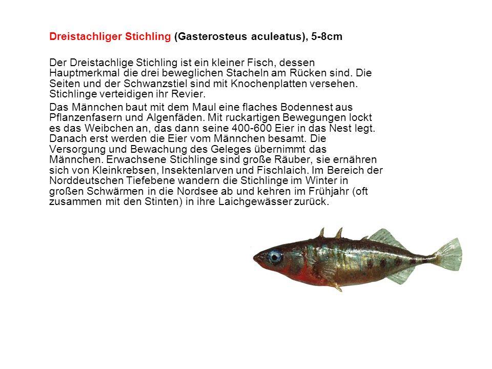 Dreistachliger Stichling (Gasterosteus aculeatus), 5-8cm