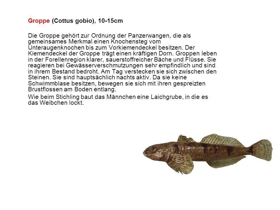 Groppe (Cottus gobio), 10-15cm