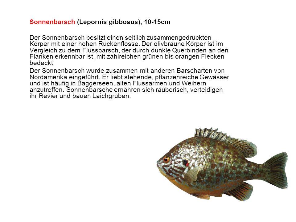 Sonnenbarsch (Lepornis gibbosus), 10-15cm