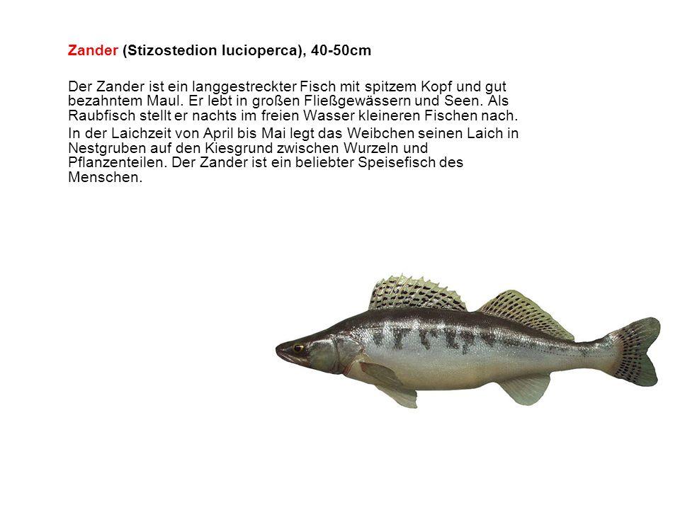 Zander (Stizostedion lucioperca), 40-50cm