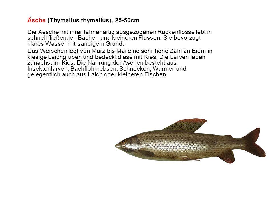 Äsche (Thymallus thymallus), 25-50cm Die Äesche mit ihrer fahnenartig ausgezogenen Rückenflosse lebt in schnell fließenden Bächen und kleineren Flüssen. Sie bevorzugt klares Wasser mit sandigem Grund.