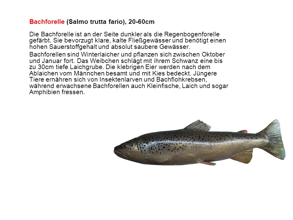 Bachforelle (Salmo trutta fario), 20-60cm Die Bachforelle ist an der Seite dunkler als die Regenbogenforelle gefärbt. Sie bevorzugt klare, kalte Fließgewässer und benötigt einen hohen Sauerstoffgehalt und absolut saubere Gewässer.