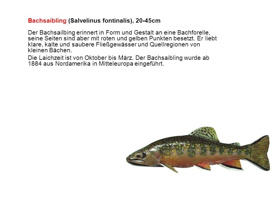 Bachsaibling (Salvelinus fontinalis), 20-45cm Der Bachsailbing erinnert in Form und Gestalt an eine Bachforelle, seine Seiten sind aber mit roten und gelben Punkten besetzt. Er liebt klare, kalte und saubere Fließgewässer und Quellregionen von kleinen Bächen.