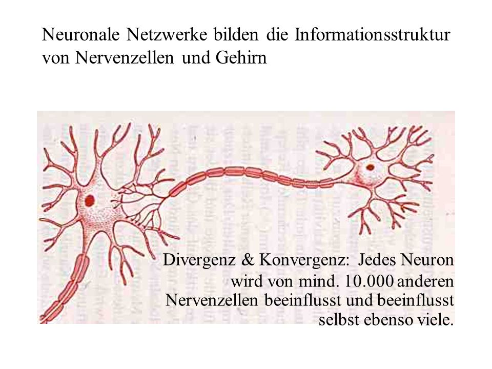 Neuronale Netzwerke bilden die Informationsstruktur von Nervenzellen und Gehirn