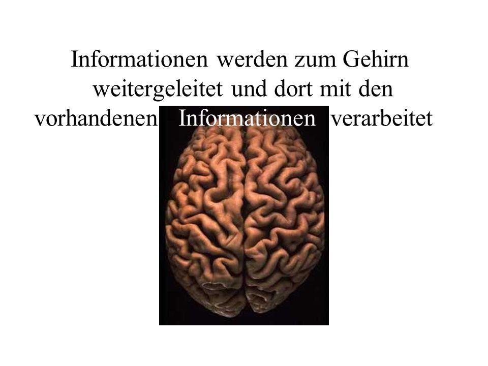 Informationen werden zum Gehirn weitergeleitet und dort mit den vorhandenen Informationen verarbeitet