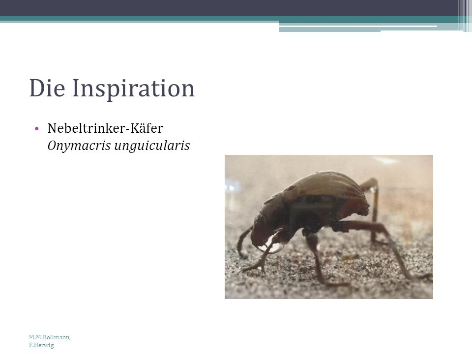 Die Inspiration Nebeltrinker-Käfer Onymacris unguicularis