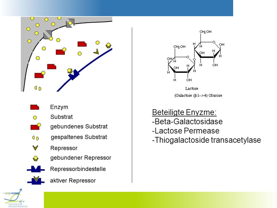 Beteiligte Enyzme: -Beta-Galactosidase -Lactose Permease -Thiogalactoside transacetylase