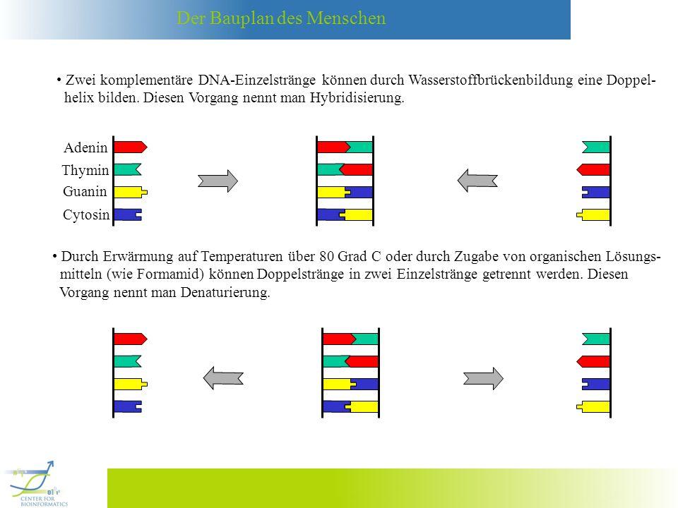 Zwei komplementäre DNA-Einzelstränge können durch Wasserstoffbrückenbildung eine Doppel-