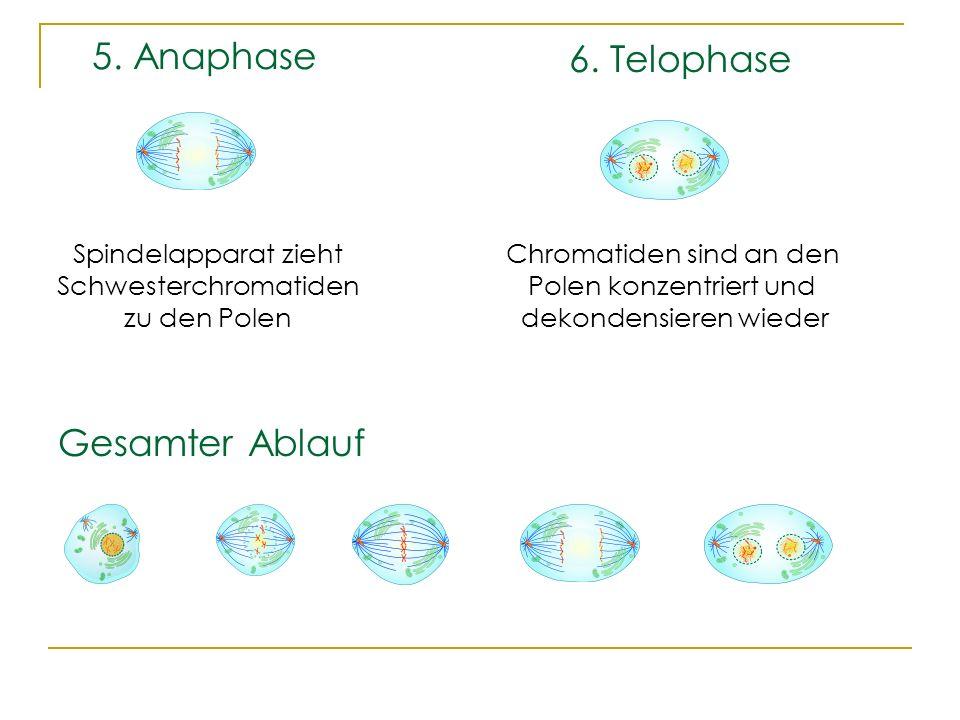 5. Anaphase 6. Telophase Gesamter Ablauf Spindelapparat zieht