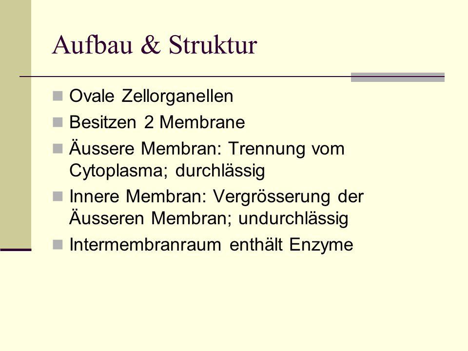 Aufbau & Struktur Ovale Zellorganellen Besitzen 2 Membrane