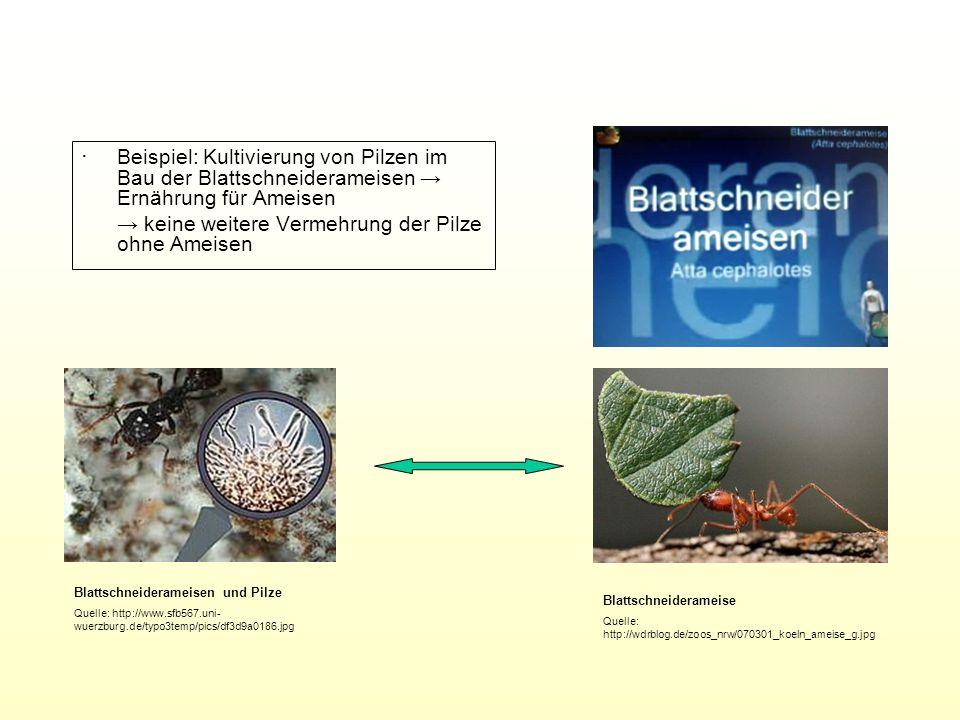 ∙ Beispiel: Kultivierung von Pilzen im Bau der Blattschneiderameisen → Ernährung für Ameisen