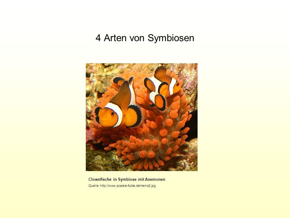 4 Arten von Symbiosen Clownfische in Symbiose mit Anemonen