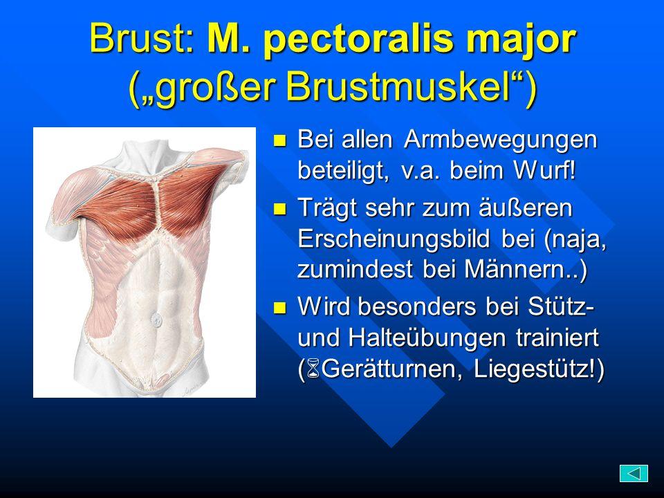 """Brust: M. pectoralis major (""""großer Brustmuskel )"""