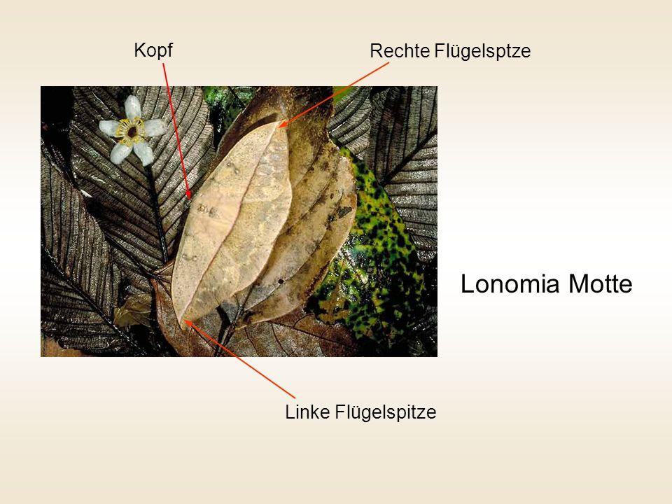 Kopf Rechte Flügelsptze Lonomia Motte Linke Flügelspitze