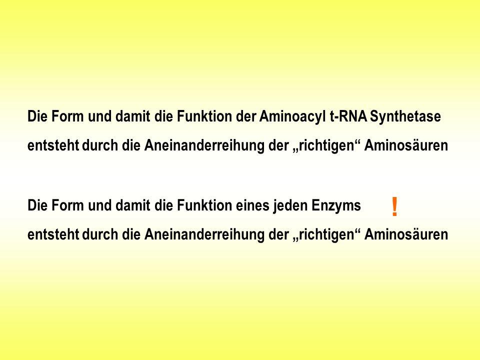 """Die Form und damit die Funktion der Aminoacyl t-RNA Synthetase entsteht durch die Aneinanderreihung der """"richtigen Aminosäuren"""