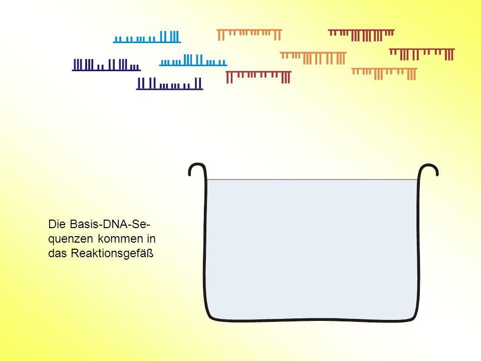 Die Basis-DNA-Se-quenzen kommen in das Reaktionsgefäß