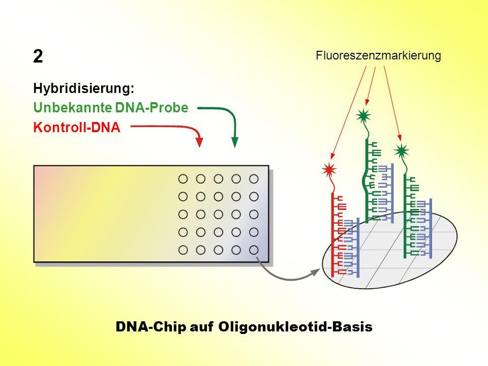 2 Hybridisierung: Unbekannte DNA-Probe Kontroll-DNA