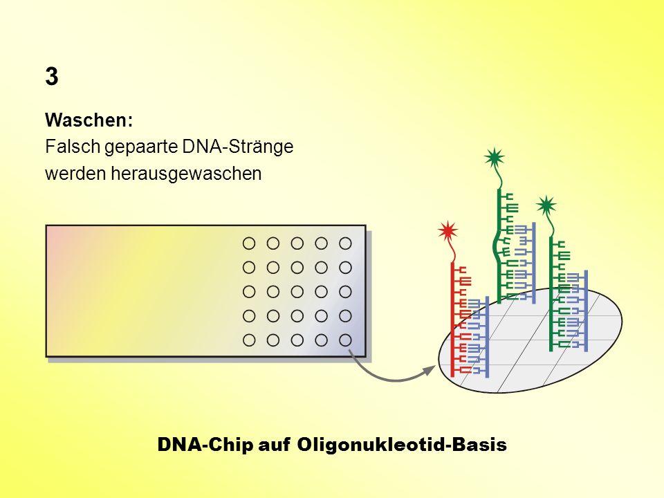3 Waschen: Falsch gepaarte DNA-Stränge werden herausgewaschen