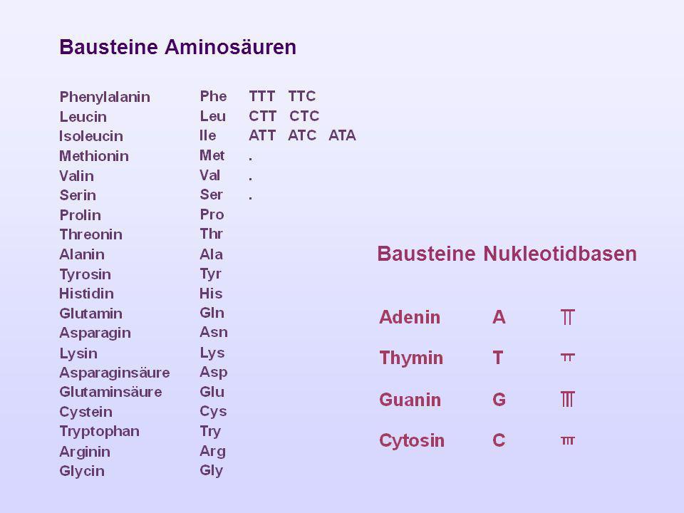 Bausteine Aminosäuren