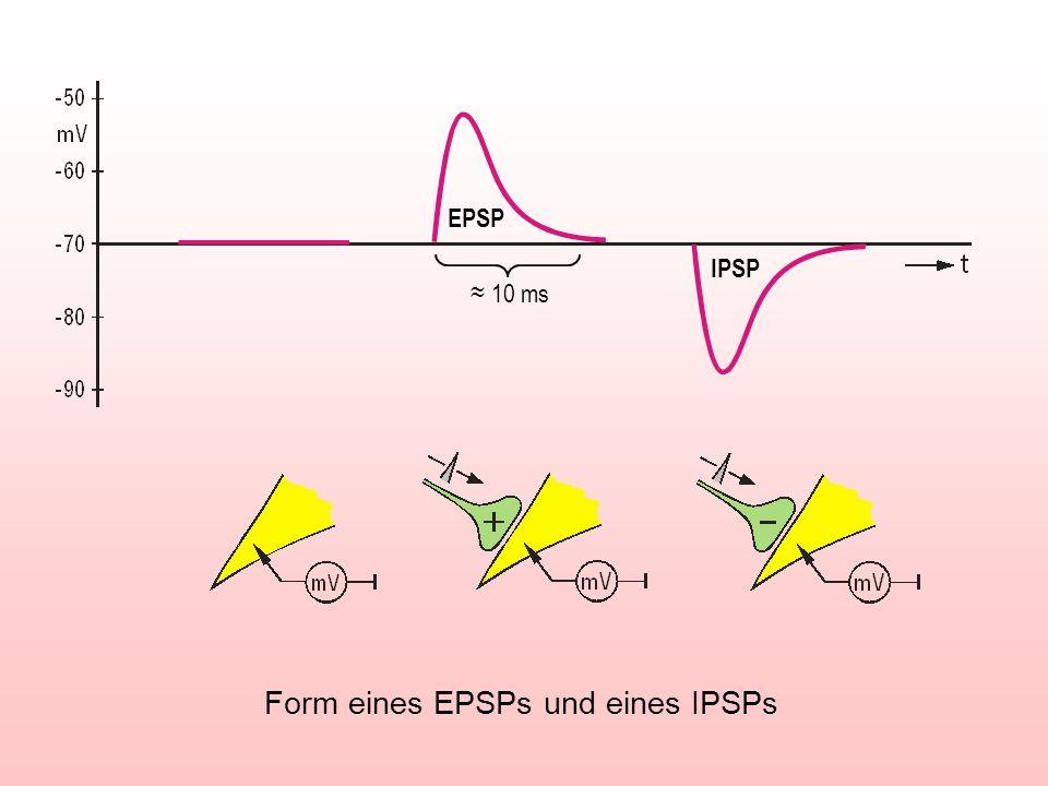 Form eines EPSPs und eines IPSPs