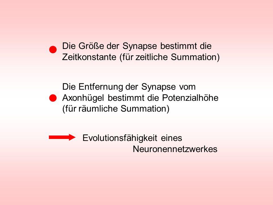 Die Größe der Synapse bestimmt die Zeitkonstante (für zeitliche Summation)