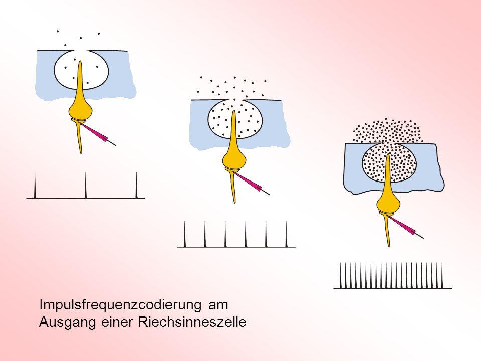 Impulsfrequenzcodierung am Ausgang einer Riechsinneszelle