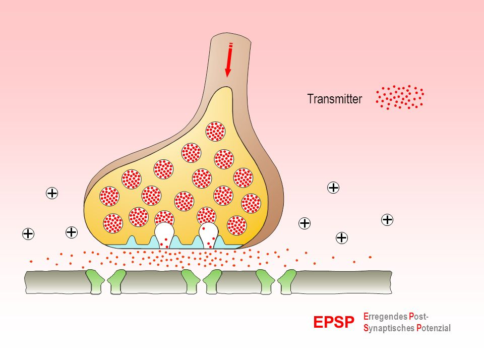 Transmitter EPSP Erregendes Post-Synaptisches Potenzial