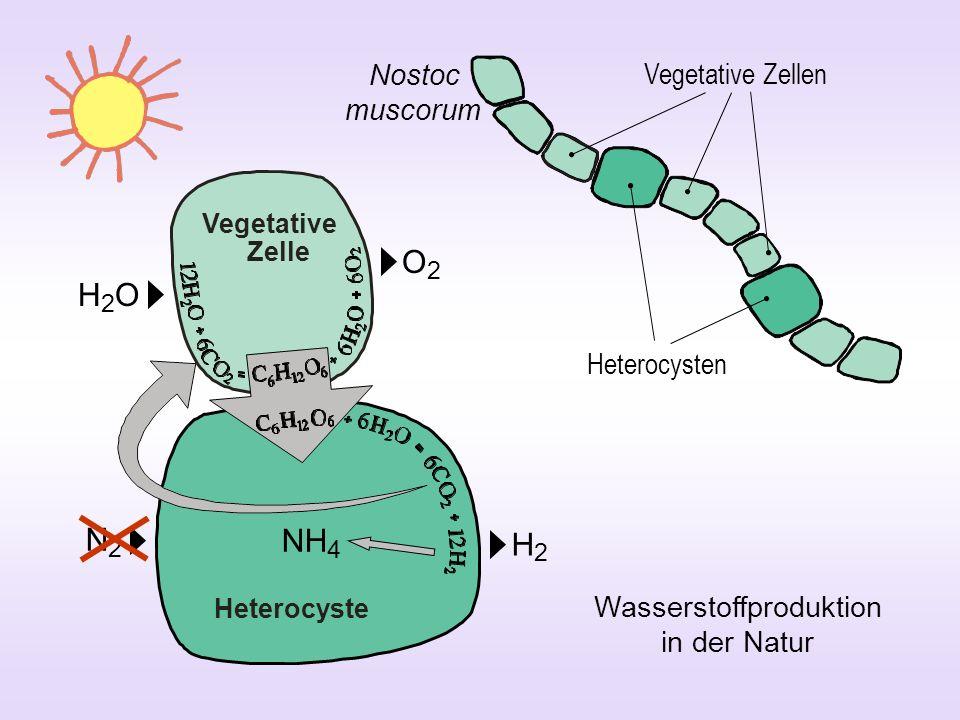 Wasserstoffproduktion in der Natur
