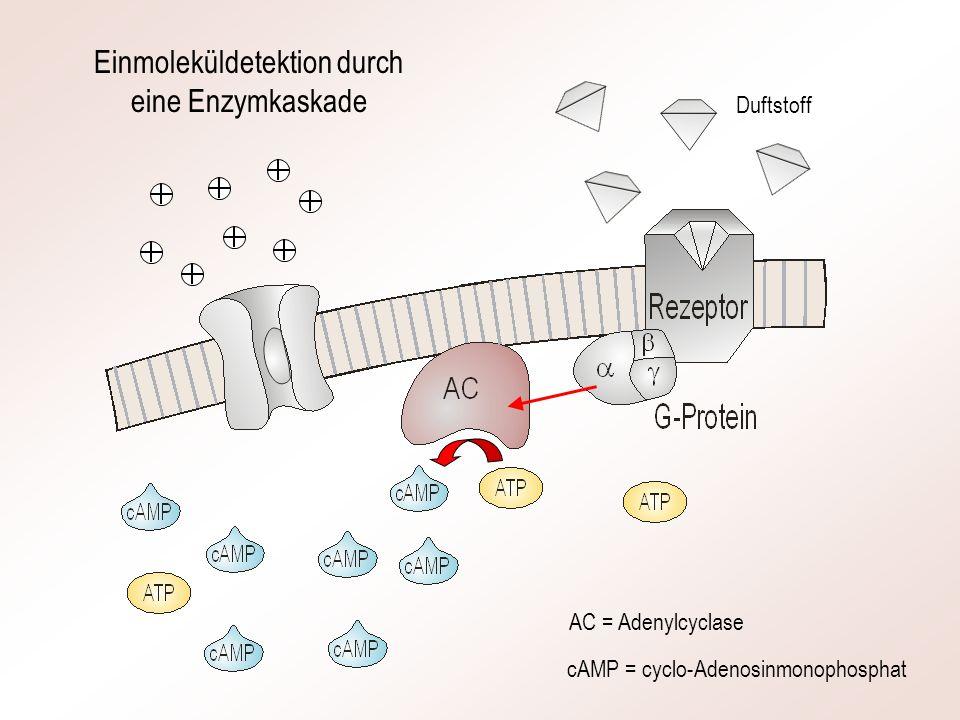 Einmoleküldetektion durch eine Enzymkaskade