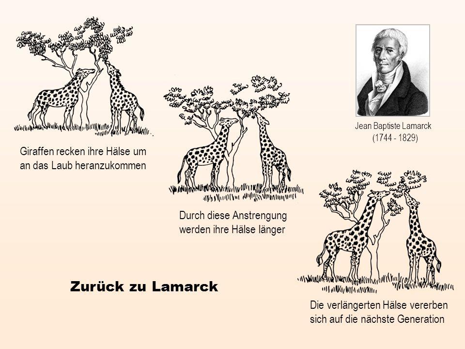Jean Baptiste Lamarck (1744 - 1829) Giraffen recken ihre Hälse um an das Laub heranzukommen. Durch diese Anstrengung werden ihre Hälse länger.