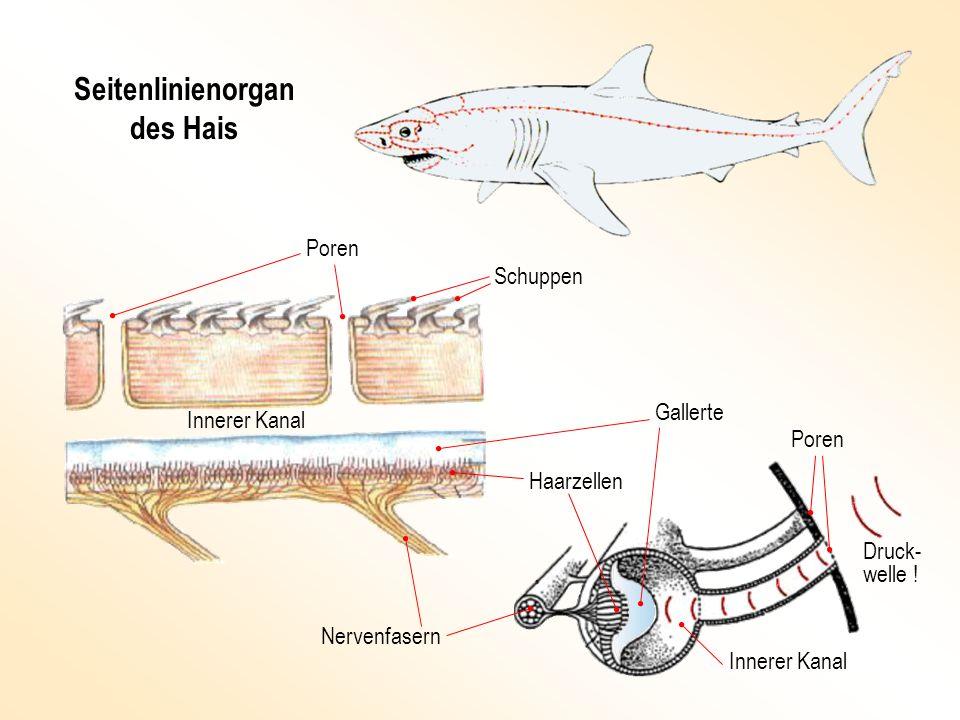 Seitenlinienorgan des Hais