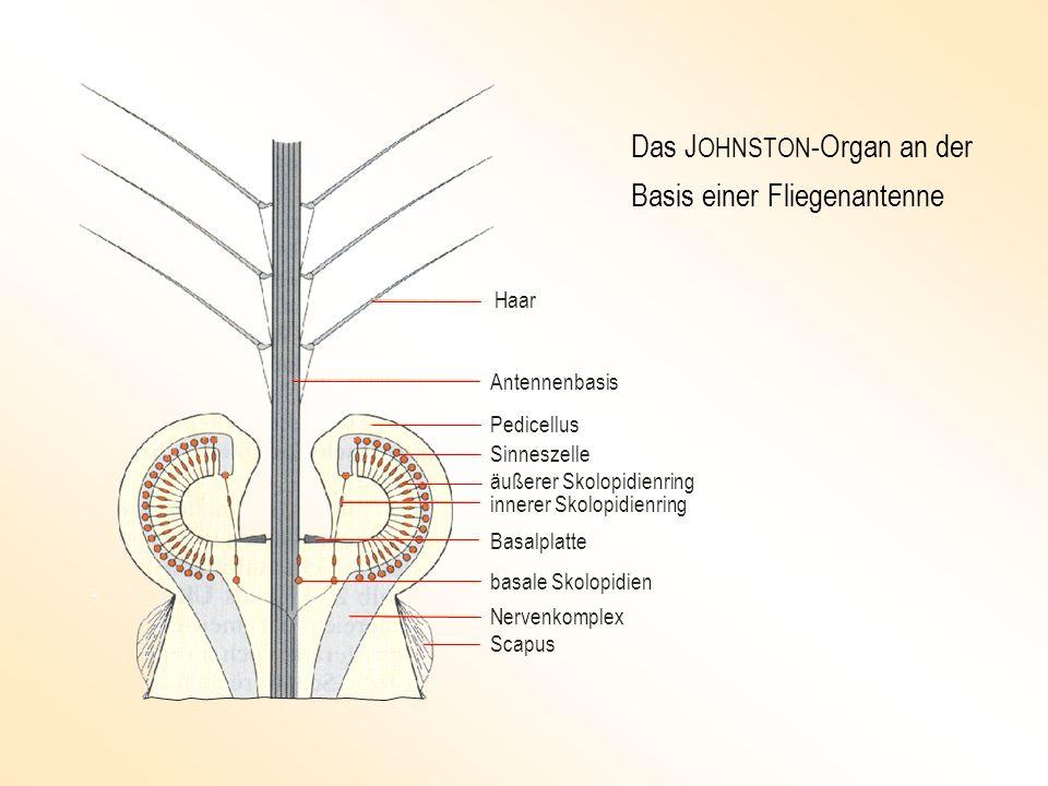 Das JOHNSTON-Organ an der Basis einer Fliegenantenne