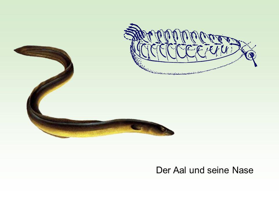 Der Aal und seine Nase