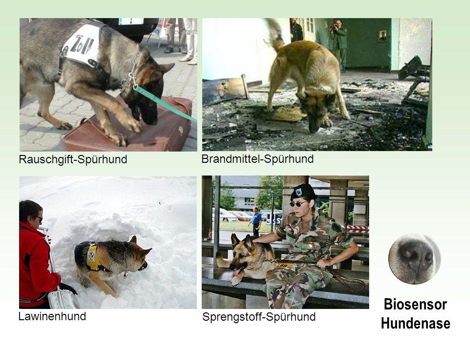 Biosensor Hundenase Rauschgift-Spürhund Brandmittel-Spürhund