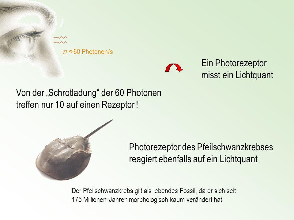 Ein Photorezeptor misst ein Lichtquant