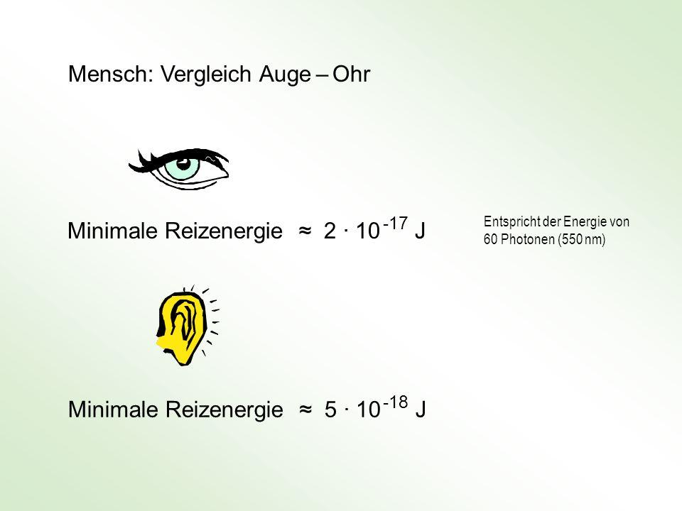 Mensch: Vergleich Auge – Ohr