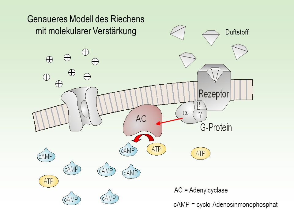 Genaueres Modell des Riechens mit molekularer Verstärkung
