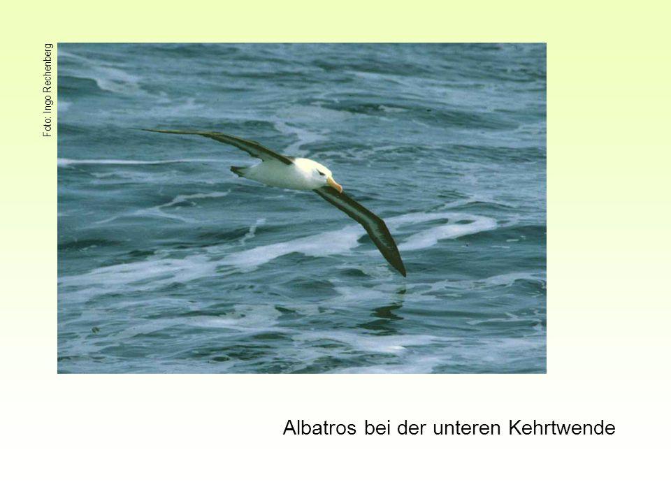 Albatros bei der unteren Kehrtwende