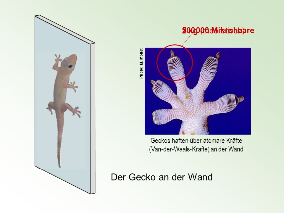 Geckos haften über atomare Kräfte (Van-der-Waals-Kräfte) an der Wand