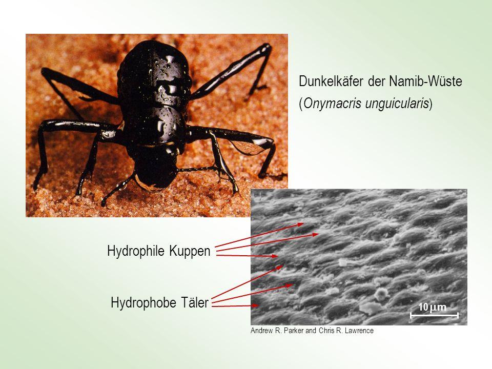 Dunkelkäfer der Namib-Wüste (Onymacris unguicularis)