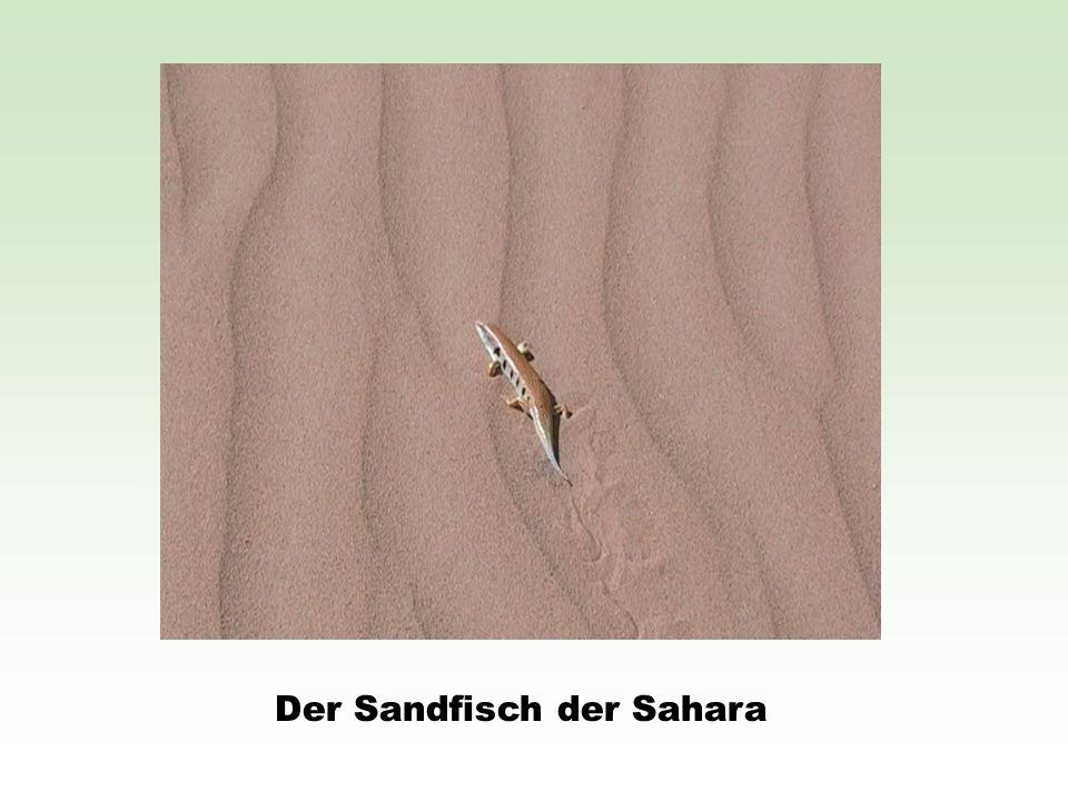 Der Sandfisch der Sahara