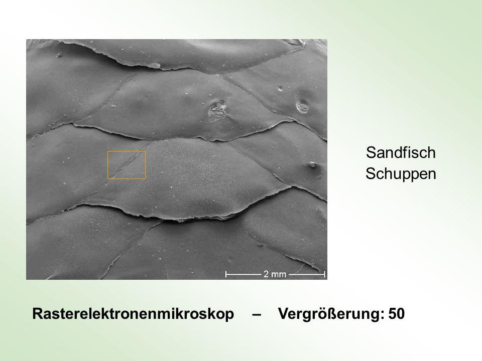 Sandfisch Schuppen Rasterelektronenmikroskop – Vergrößerung: 50