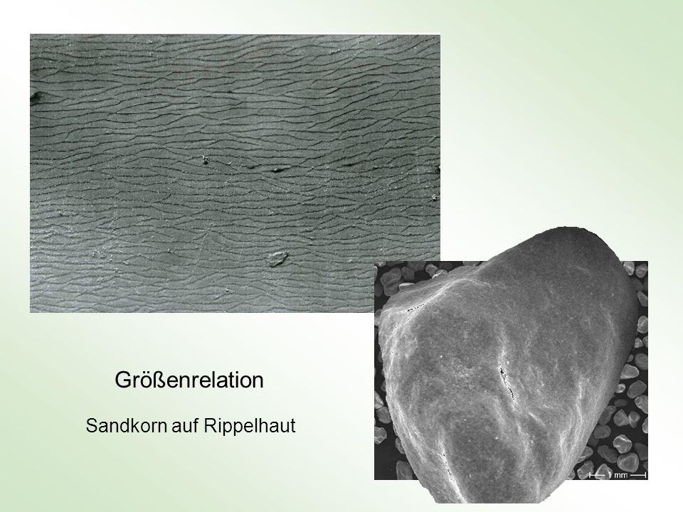Größenrelation Sandkorn auf Rippelhaut