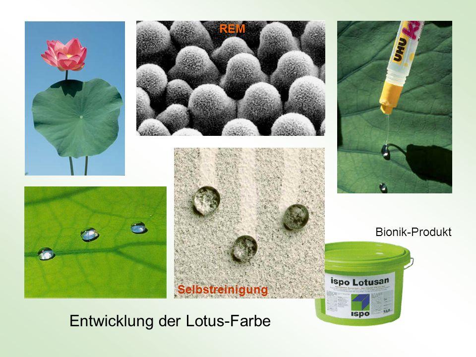 Entwicklung der Lotus-Farbe