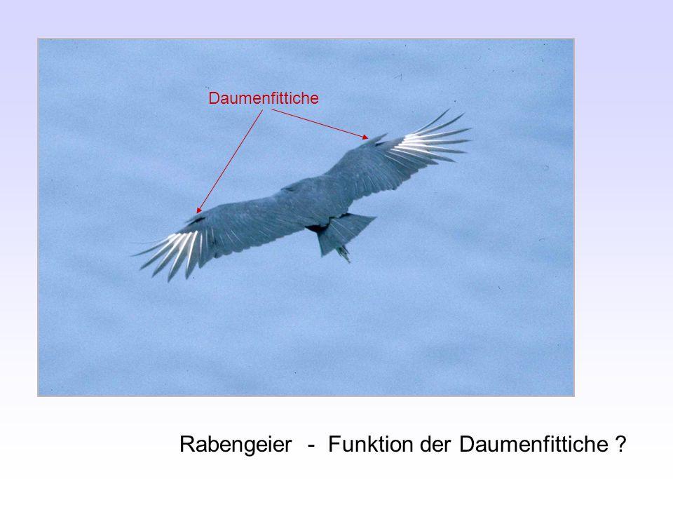 Rabengeier - Funktion der Daumenfittiche