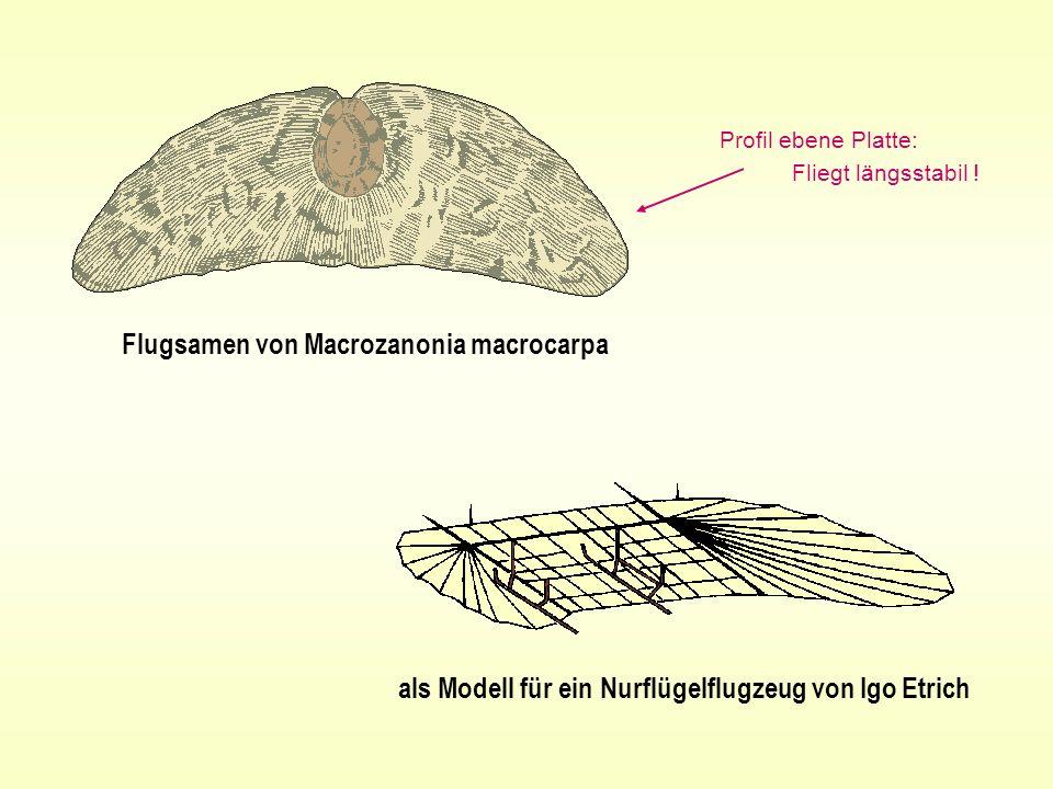 Flugsamen von Macrozanonia macrocarpa