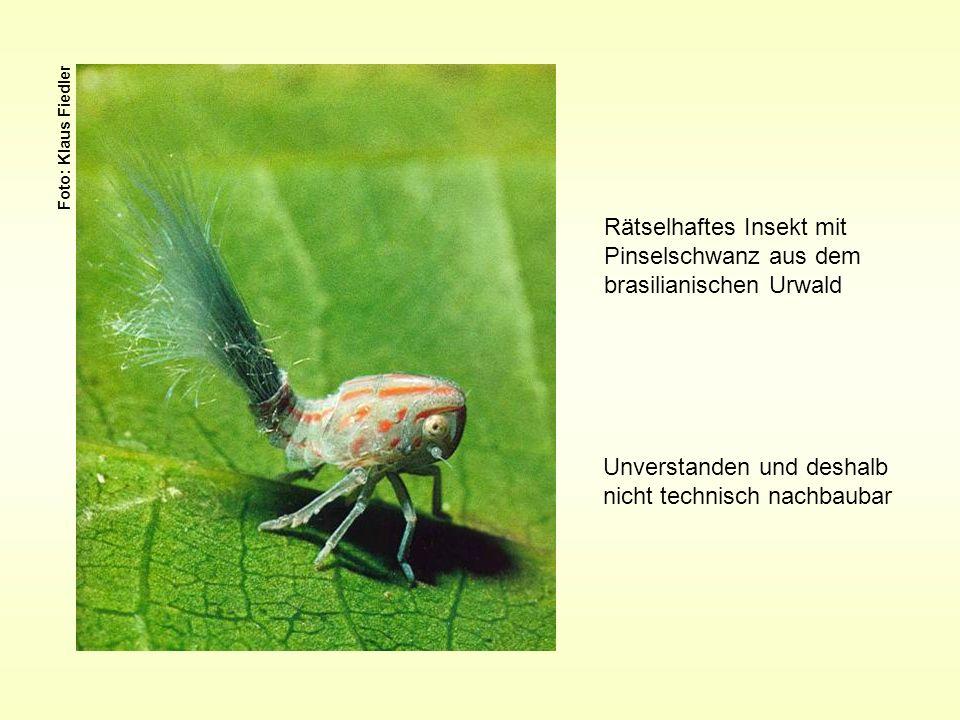 Rätselhaftes Insekt mit Pinselschwanz aus dem brasilianischen Urwald