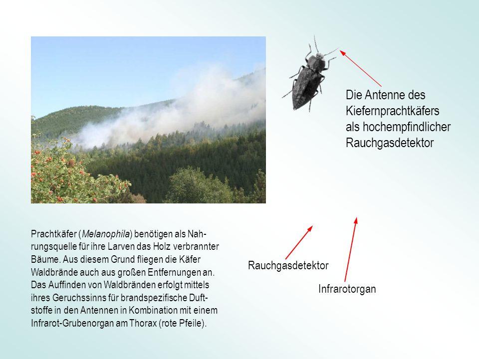 Die Antenne des Kiefernprachtkäfers als hochempfindlicher Rauchgasdetektor