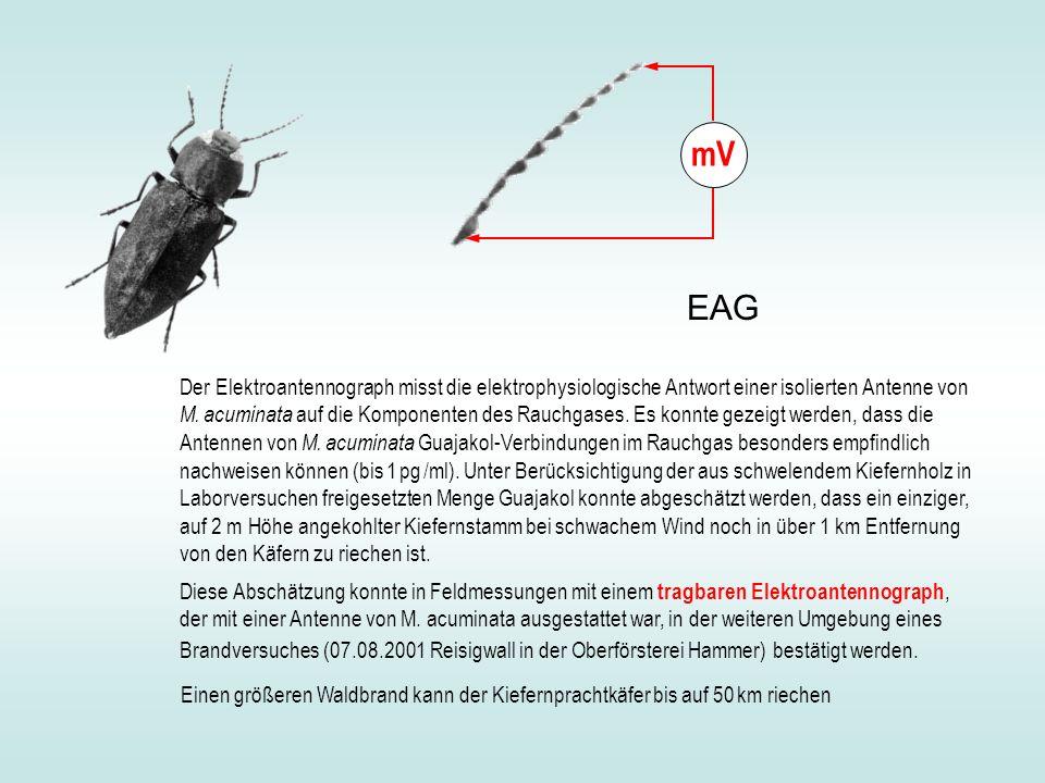 mV EAG.